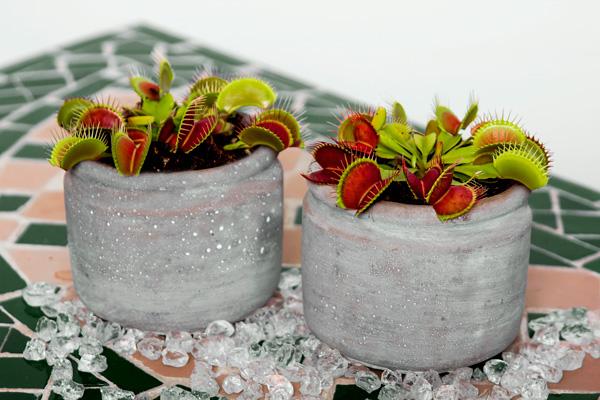 Dionaea, planta carnivora, atrapamoscas, venus, jardineria, vivero, plantas, paisajismo, el torruco, villanueva de la serena, don benito, extremadura