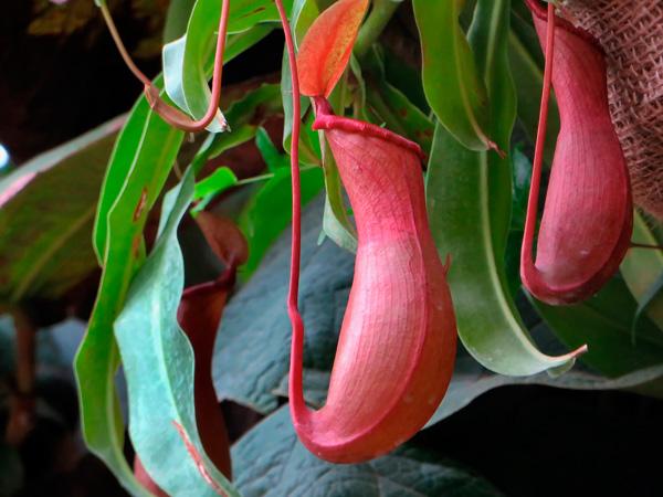 Nepenthes, planta carnivora, atrapamoscas, venus, jardineria, vivero, plantas, paisajismo, el torruco, villanueva de la serena, don benito, extremadura