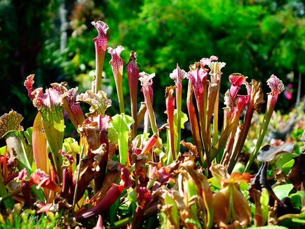 sarracenia, planta carnivora, carnivora, plantas, jardineria, vivero, el torruco, villanueva de la serena, don benito, badajoz, extremadura