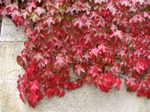 Trepadoras el torruco - Plantas verdes exterior ...