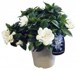 Gardenia jasminoides, el torruco, centro de jardinería, villanueva de la serena, flores blancas,