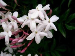 Jasminum polyanthum, flores blanca, aroma, jazmin, el torruco, centro de jardineria, villanueva de la serena