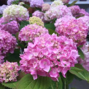 hortensia, innocence, hydrangea, jardin, flor, jardineria, el torruco, vivero, planta, villanueva de la serena, don benito, badajoz, caceres