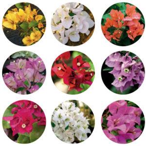 buganvilla, bougainvillea, trepadora, jardin, centro de jardineria, paisajismo, vivero, el torruco, plantas, villanueva de la serena, don benito, badajoz, caceres, miajadas