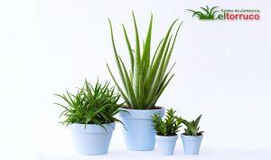 aloe vera, aloe, planta medicinal, jardineria, vivero, plantas, centro jardineria, el torruco, villanueva de la serena, don benito, badajoz, extremadura