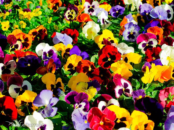 pensamientos, viola, flores temporada, jardineria, paisajismo, el torruco, centro jardineria, vivero, villanueva serena, don benito, badajoz, extremadura