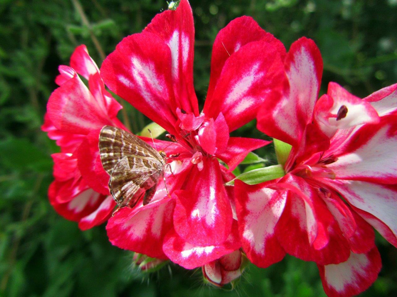 Mariposa del Geranio 1